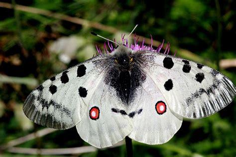 apollon papillon wikipedia