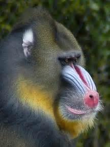 Baby Mandrill Baboon