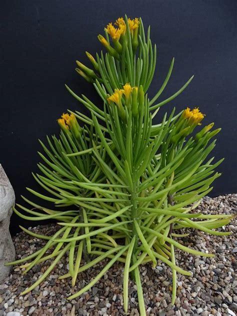 plantfiles pictures succulent bush senecio barberton