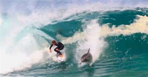 man surfs   dolphin  rare giant wave sweeps