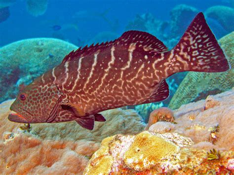 grouper tiger fish water travel underwater