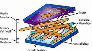 Cell Wall |Function, Cell Wall Structure, Bacterial Cell ...