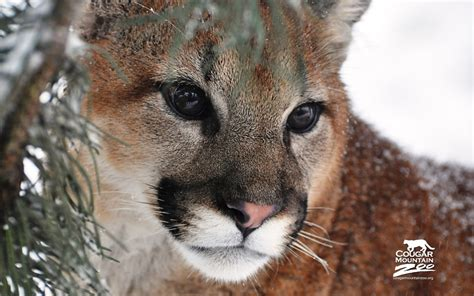 cougar wallpapers hd wallpapers id