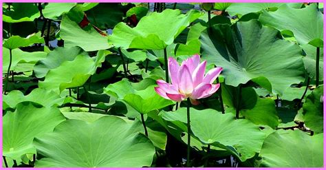 Interesting Facts About Lotus Flower Bomb