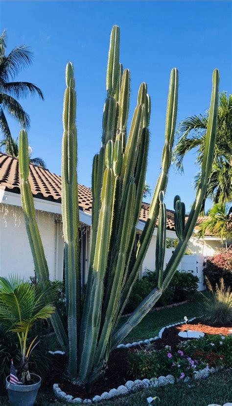 Peruvian Apple cactus : cactus