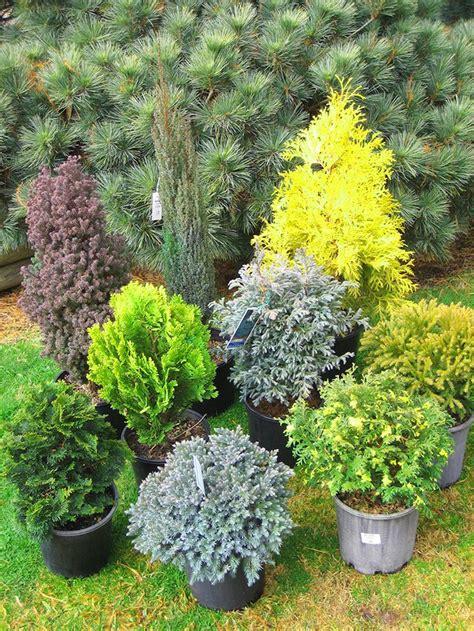 25 best ideas about evergreen shrubs on