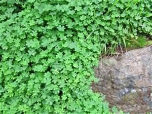Gartengestaltung Unter Bäumen : die gr ne decke gartengestaltung mit hilfe von bodendeckern ~ Yasmunasinghe.com Haus und Dekorationen