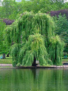 willow  world encyclopedia