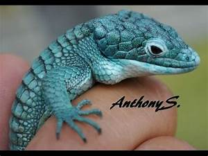 Blue Mexican Alligator Lizard - YouTube