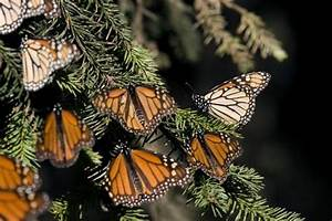Monarch butterfly uses magnetic, Sun compasses, study ...