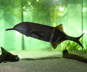 Elephant Nose Fish: You Know I'm All About That Trunk (No