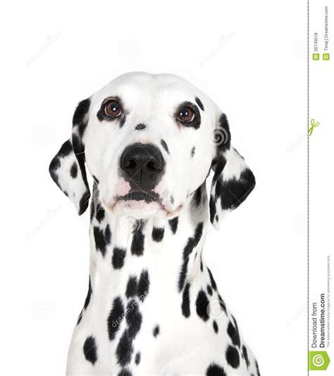 dalmatian dog royalty  stock  image