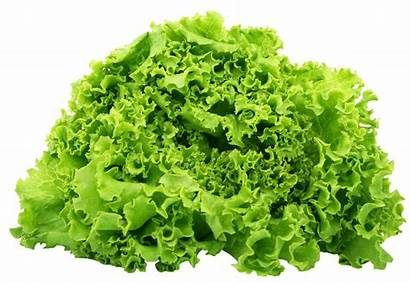 Lettuce Spinach Clipart Transparent Purepng Leaves Salad