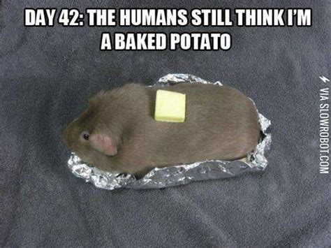 Humans Meme - day 42 the humans still think i m a baked potato