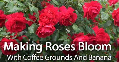 The best results for exquisite blooming plants over time is achieved through building the soil thr. Making Roses Bloom With Coffee Grounds And Banana | Planting roses, Lawn, garden, Rose care