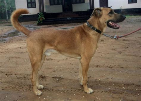 combai dog info history temperament training puppy