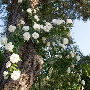 Rosier Grimpant Blanc : rosier grimpant 39 looping 39 rosier meilland plantes et ~ Premium-room.com Idées de Décoration