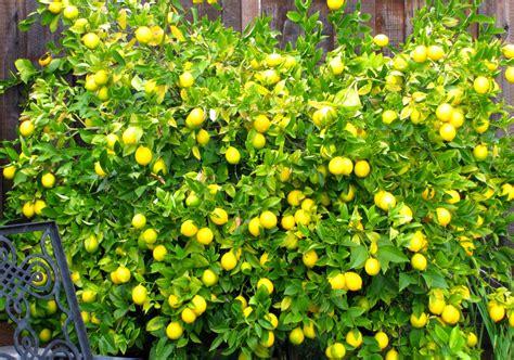 matelic image meyer lemon trees