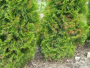 Thuja Hecke Innen Braun : smaragd thujen werden braun smaragd thujen werden tlw braun viele zapfen verwunderlich thuja ~ Buech-reservation.com Haus und Dekorationen