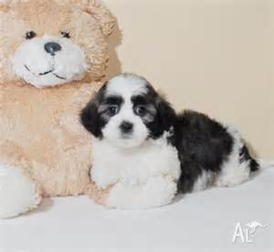 Shih Tzu Puppies Adoption