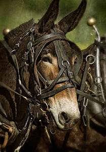 Dan Routh Photography: Mules in Harness