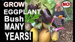 Guide How To Grow Eggplants From Seed In Containers