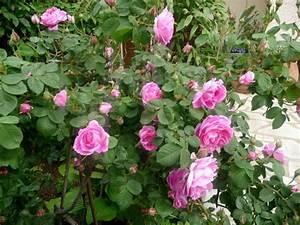 Rosier Grimpant Remontant : le royaume des rosiers vive la rose page 8 ~ Melissatoandfro.com Idées de Décoration