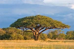 Acacia Tree Britannicacom