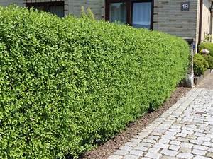 Kirschlorbeer Pflanzen Abstand : schwarzgr ner liguster 39 atrovirens 39 ligustrum vulgare ~ Lizthompson.info Haus und Dekorationen