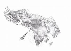 Mallard Duck Drawing By Joann Renner