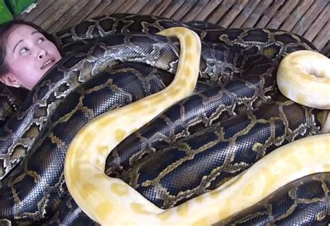 python massage philippines zoo pythons giant foot snake offers four geekologie massaged