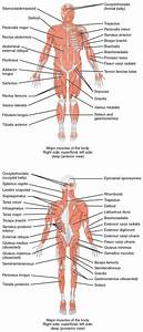 11 3 Explain The Criteria Used To Name Skeletal Muscles