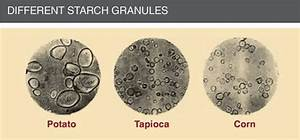 Starch Granules Related Keywords - Starch Granules Long ...