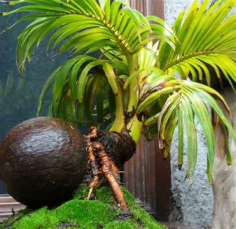 bonsai kelapa gading menawan