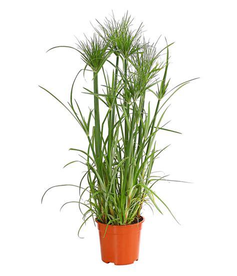 papyrus pflanze kaufen papyrus dehner