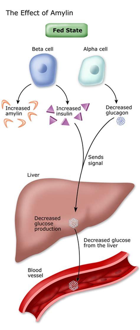 blood sugar  hormones diabetes education