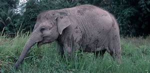 Habitat loss drives Sumatran elephants step closer to ...