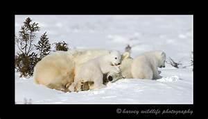 Playing on Mom: Polar Bear moms and cubs near Churchill ...