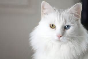 white cat with blue 20 amazing blue cats and cuddly