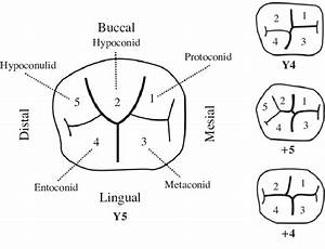 Categorization Of Cusp Patterns And Developmental Grooves