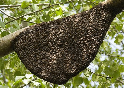 bees nest on tree sri lanka tony yeomans flickr