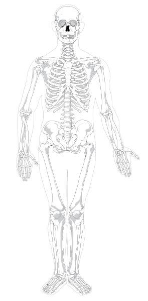 Filehuman Skeleton Front Notext Nocolorsvg Wikimedia