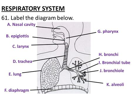 Respiratory System Diagram To Label  Bing Images