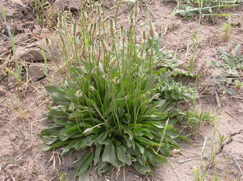 white nursery buckhorn plantain plantago lanceolata page