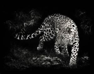 Photo, Manipulation, Leopard, Animals, Wallpapers, Hd