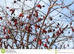 Strauch Mit Roten Beeren Im Winter : rode bessen in de winter stock afbeelding afbeelding bestaande uit midden 37578667 ~ Frokenaadalensverden.com Haus und Dekorationen