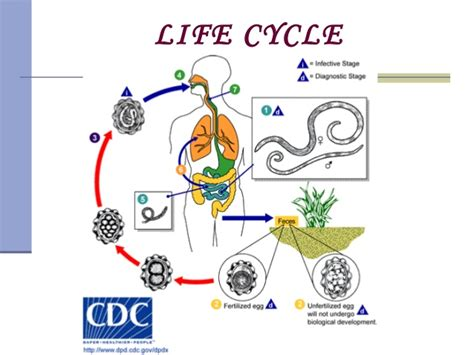 The Gallery For --> Ascaris Life Cycle