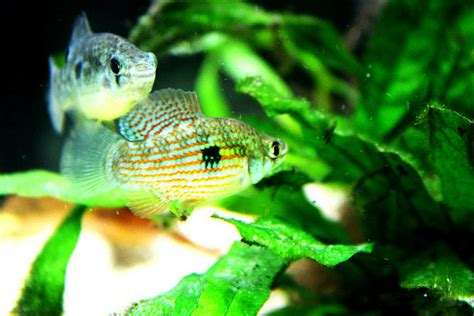 flagfish fishes world hd images
