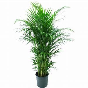 Delray, Plants, Areca, Palm, Dypsis, Lutescens, Easy, To, Grow, Live, House, Plant, 10