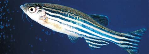 zebrafish models  disease  environmental stress